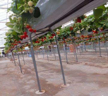 あきひめ  紅ほっぺ  かおりの 三種類のいちごがありました。